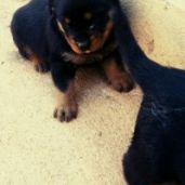 chiot rottweiler royal pure race